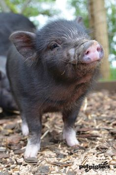 pet pig house -- CLICK Visit link for more info Pet Pigs, Baby Pigs, Guinea Pigs, Animals And Pets, Baby Animals, Cute Animals, Cute Piglets, Pot Belly Pigs, Teacup Pigs