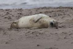 Junge Kegelrobbe (grey seal), Düne Helgoland - Germany