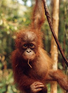 visit the orangutan sanctuary on borneo Orangutan Sanctuary, Borneo Orangutan, Sumatran Orangutan, Baby Orangutan, Baby Animals, Funny Animals, Cute Animals, Animal Babies, Gunung Leuser National Park