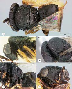 Trissolcus thyantae female holotype