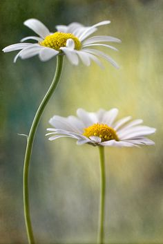 "/ Photo ""Daisy Duo"" by Mandy Disher SIMPLE. One of my two fave flowers. Happy Flowers, White Flowers, Beautiful Flowers, Daisy Painting, Daisy Love, Flower Pictures, Belle Photo, Watercolor Flowers, Flower Art"