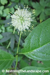 Buttonbush ~ Cephalanthus occidentalis