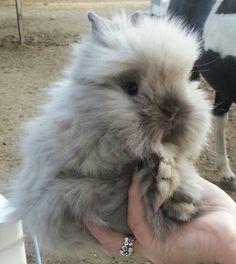Lionhead bunnies (no link)