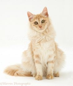 Turkish Angora Cat is a breed of domestic cat. Turkish Angoras are one of the ancient, natural breeds of cat, having originated in central Turkey, in the Ankara region. Turkish Angora Cat, Angora Cats, Orange Cats, White Cats, Flea Shampoo For Cats, Toxic Plants For Cats, Cut Animals, Cat Character, Photo Chat