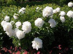 Tässä ohjeita pionien kasvatukseen Candels, Balcony Garden, White Flowers, Rose Flowers, Green, Nature, Plants, Backyard Ideas, Roses