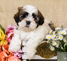Lancaster Puppies makes it easy to find healthy puppies from reputable dog breeders across Pennsylvania, Ohio, and more. Bichon Frise Breeders, Short Hair Cuts For Women, Short Hair Styles, Shichon Puppies For Sale, Bernadoodle Puppy, Lancaster Puppies, Shih Tzu, Fur Babies, Dogs