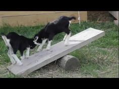 Baby Goats On The Seesaw