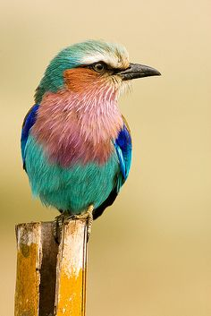 Lilac Breasted Roller Bird by bettywisse