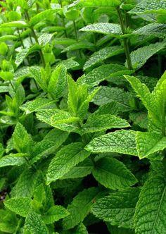 Máta peprná Peppermint, Life Is Good, Plant Leaves, Essential Oils, Herbs, Gardening, Organic, Plants, Style