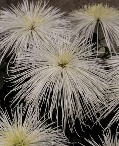 How To Select Little One Dresses Showers Spider Chrysanthemum 2012 Patty Hankins Exotic Flowers, Amazing Flowers, Love Flowers, White Flowers, Wedding Flowers, Japanese Chrysanthemum, Chrysanthemum Flower, Spider Mums, Unusual Plants