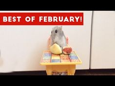 Funniest Pet Reactions & Bloopers of February 2017 | Funny Pet Videos -  #bird #birding #bird_watchers_daily #animal #birdwatching #pets #nature_seekers #birdlovers Dog Training – The Perfect Pooch System!  Click HERE! Brand new weekly compilation of the best pet reactions, viral clips, home video bloopers and funniest moments caught on tape. Check out Team... - #Birds