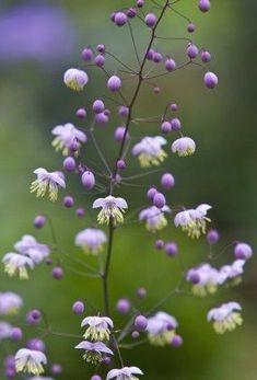 Thalictrum aquilegifolium - Flores y plantas Purple Flowers, Wild Flowers, Beautiful Flowers, Meadow Garden, Dream Garden, Shade Garden, Garden Plants, Indoor Garden, Balcony Garden