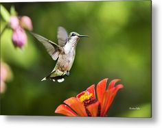 Shimmering Breeze Hummingbird Metal Print by Christina Rollo.  All metal prints are professionally printed, packaged, and shipped within 3 - 4 business days and delivered ready-to-hang on your wall. Choose from multiple sizes and mounting options.