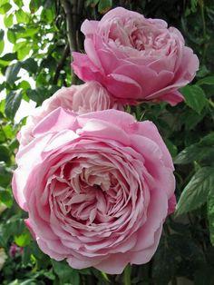 Spirit of Freedom ~ English Shrub Rose Beautiful Rose Flowers, Amazing Flowers, Beautiful Flowers, Purple Roses, Pink Peonies, Pink Flowers, Exotic Flowers, Pink Nature, Types Of Roses