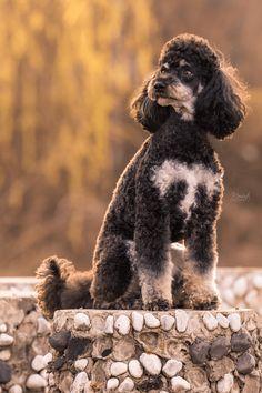 Pudel - Outdoorshooting - Hundefotografie