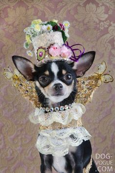 High Fashion Portraits of Chihuahuas | Pleated-Jeans.com