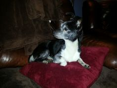Pringle is a chi mix boy who is about 12 pounds of sweetness. He is about 8 years old and gets along with everyone. Pringle currently lives with three other small breed females as well as an 11 year old foster human. He loves his back yard, chasing...