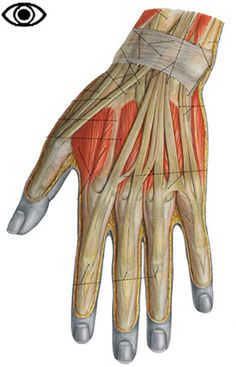 Muscles of the hand (dorsal)