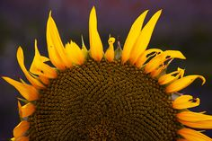 Sunflower Imperfection by Nikos Kalkounos on 500px