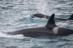 Orcas in Grundarfjörđur, Iceland on Sunday by Láki Tours.