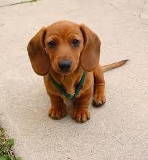 dachshund puppies - Google Search