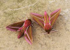 Elephant hawk moth. 30-6-13. (by Colin Pumfrett)