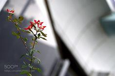 Winter rose by Akiatoshiaki #nature #mothernature #travel #traveling #vacation #visiting #trip #holiday #tourism #tourist #photooftheday #amazing #picoftheday