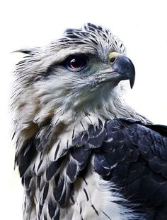 grey eagle, harpyhaliaetus coronatus, a native of south America. called an eagle, but is actually a large hawk.