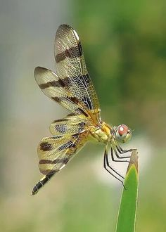 Dragonfly : Halloween Pennant - photo by Vicky Flying Insects, Bugs And Insects, Beautiful Bugs, Beautiful Butterflies, Beautiful Creatures, Animals Beautiful, Mantis Religiosa, Gossamer Wings, Photo Animaliere
