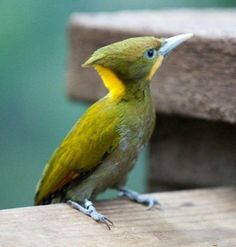 Yellow Woodpecker