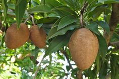 Sapodilla, Fruit that Feeds Your Sweet Tooth