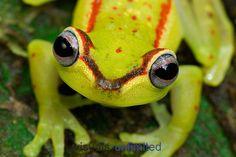 Hyla rubracyla #frogs #amphibians #herpetology