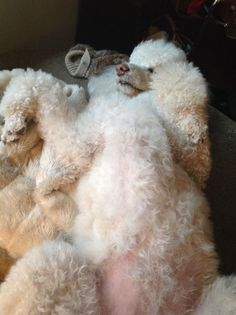 The Poodle Patch — Chanel enjoying a nap…  can your fur baby sleep...