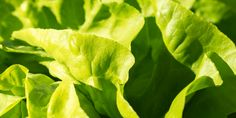 Watch out the Egyptian salad. Lettuce in Ancient Egypt: a 'sexy vegetable' and its usages Fast Growing Vegetables, Fall Vegetables, Cannabis, Vegetable Garden Planner, Vegetable Gardening, Types Of Salad, Growing Lettuce, Natural Detox Drinks, Seed Packets