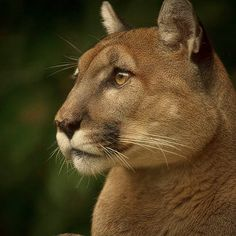 Mountain Lion/ Cougar/ Puma/ Panther