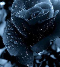 Midnight Blue Navy Rose
