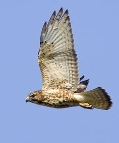 """Broad-Winged Hawk - Buteo playpterus - This is a relatively small Buteo, 13-17"""" (32-44 cm) in length, of the family Accipitridae. It weighs anywhere from 9.3-19.8 oz (265-560 g). This species occurs throughout much of North and South America - Image :  © Lloyd Spitalnik"""