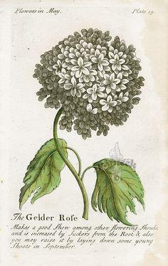 Gelder Rose, 1747