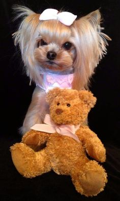yorkie and her teddy Yorkies, Cute Puppies, Cute Dogs, Poodle Puppies, Yorkie Cuts, Yorkie Hairstyles, Dog Haircuts, Dog Grooming Tips, Mini Dogs
