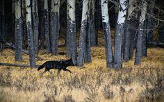 Image result for black wolf running
