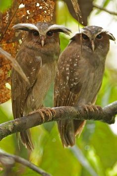 Crested Owls. How beautiful.