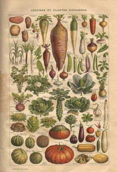 VEGETABLES Legumes Et Plantes Potageres Vintage Scientific Illustration French Language Encyclopedia Poster by Art Of Science - Vintage Botanical Prints, Botanical Art, Vintage Prints, Vintage Art, Vintage Posters, Custom Posters, Collage Poster, Kunst Poster, Poster Poster