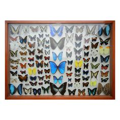 Butterfly Taxidermy from around the world.  World  20thc  A Magnificent collection of Butterfly Taxidermy, from around the world.One hundred count,encased in a two sided glass protective encasement,and framed in maple wood.This collection would also make a wonderful table top.