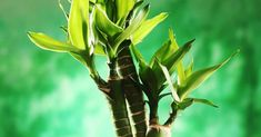 Which Lucky Plants are best for My Home other than Lucky Bamboo? Bamboo Plants, Indoor Plants, Lucky Plant, Lucky Bamboo, Feng Shui, Plant Leaves, Vastu Shastra, Nurseries, Flowers