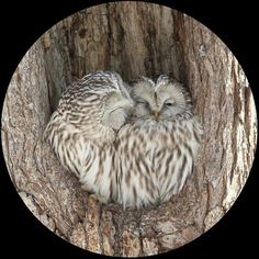Sweet owl couple :)