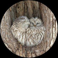 Sweet owl couple :)