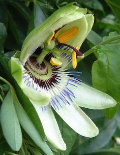 PASSION (Passiflora caerulea (Passion flower)) - Cool!