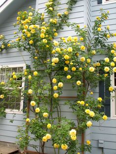 Brighten up a boring wall with a brightly colored climbing rose. This yellow rose is CL Gold Badge. It's sweet, honey fragrance fills the air and it's continuous golden blooms create a warm atmosphere.