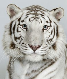 Royal White Bengal Tiger