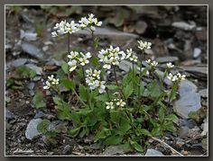 Fjellskrinneblom (Arabis alpina)